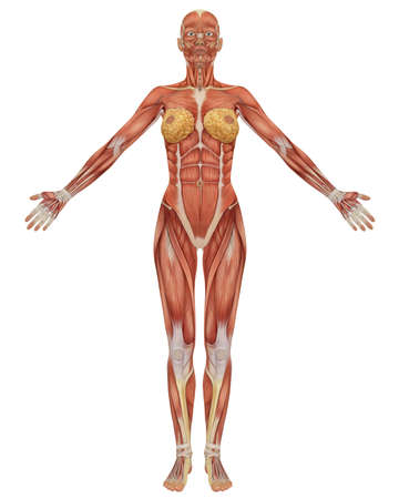 Front view of the female muscular anatomy. Very educational. Stock Photo