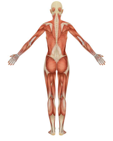 Rear view of the female muscular anatomy. Very educational. Stock Photo