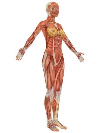 Seitenansicht einer die weibliche Anatomie muskulös. Sehr lehrreich. Standard-Bild - 6910372