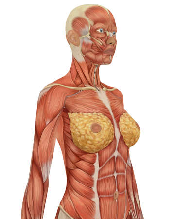 facial muscles: Angled view of the upper body of the female muscular anatomy. Very educational.