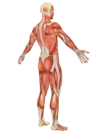 A illustration of the angled rear view of the male muscular anatomy. Very educational and detailed.