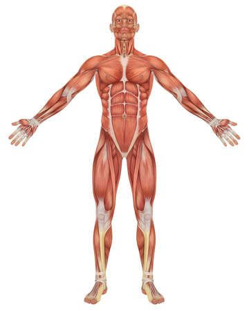 A illustration of the front view of the male muscular anatomy. Very educational and detailed.