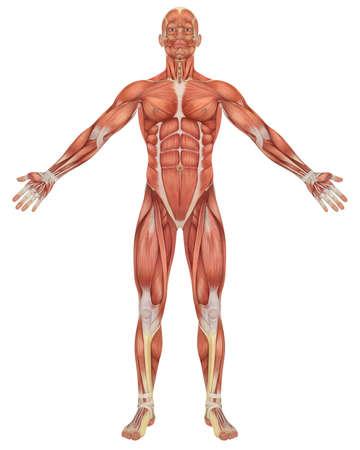 calas blancas: Una ilustración de la vista frontal de la anatomía masculina muscular. Muy educativo y detallada.