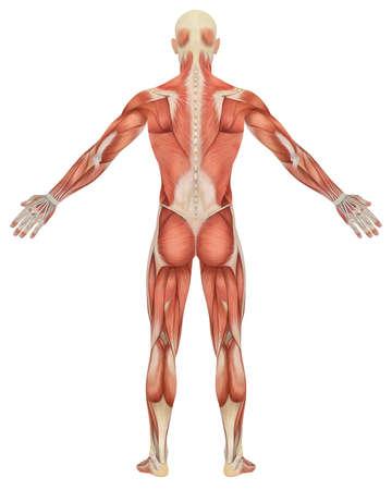 남성의 근육 해부학의 후면보기의 그림. 아주 교육 및 상세한. 스톡 콘텐츠