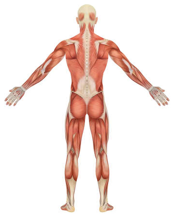 muscle anatomy: A illustration of the rear view of the male muscular anatomy. Very educational and detailed. Stock Photo