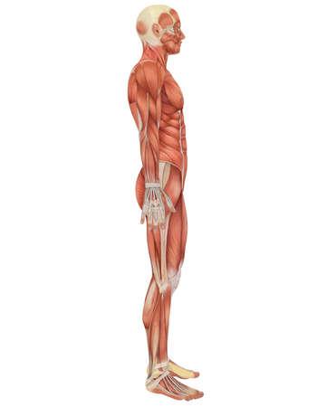 남성의 근육 해부학의 측면보기의 그림. 아주 교육 및 상세한.