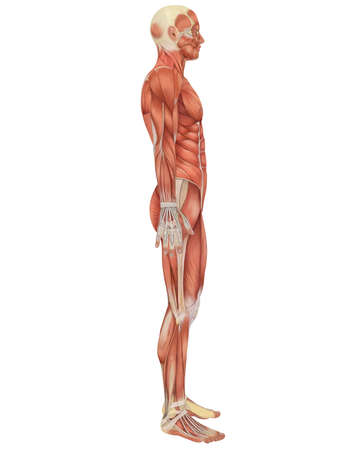 human anatomy: A illustration of the side view of the male muscular anatomy. Very educational and detailed. Stock Photo