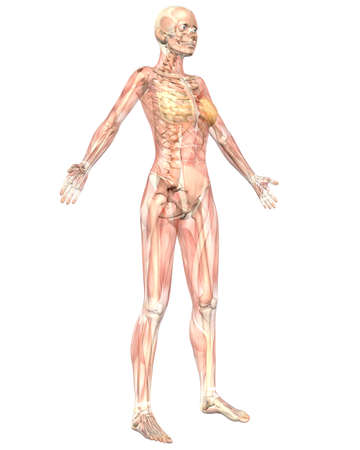 A illustration of the angled front view of the female muscular anatomy, semi transparent showing the skeletal anatomy. Very educational and detailed.