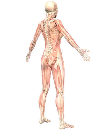 A illustration of the angled rear view of the female muscular anatomy, semi transparent showing the skeletal anatomy. Very educational and detailed. illustration