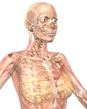 A illustration of the close up view of the female muscular anatomy, semi transparent showing the skeletal anatomy. Very educational and detailed.