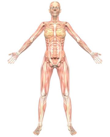 女性の筋肉の解剖学、半透過骨格の解剖学を示す正面のイラスト。非常に教育と詳細。