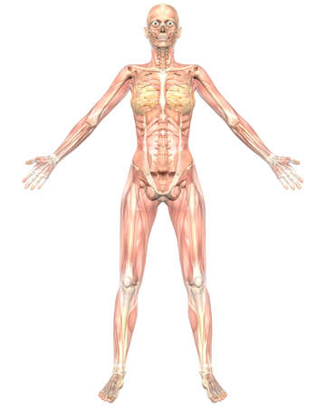 A illustration of the front view of the female muscular anatomy, semi transparent showing the skeletal anatomy. Very educational and detailed. illustration