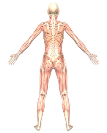 A illustration of the rear view of the female muscular anatomy, semi transparent showing the skeletal anatomy. Very educational and detailed. Stock Photo