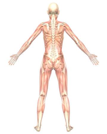 Una ilustración de la vista posterior de la anatomía femenina muscular, semi transparente que muestra la Anatomía esquelética. Muy educativo y detallada. Foto de archivo