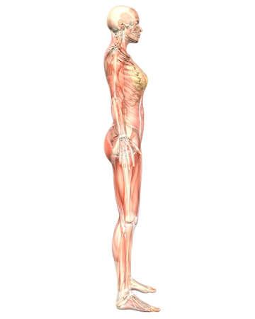 女性の筋肉の解剖学、骨格の解剖学を示す半透明の側面図のイラスト。非常に教育と詳細。