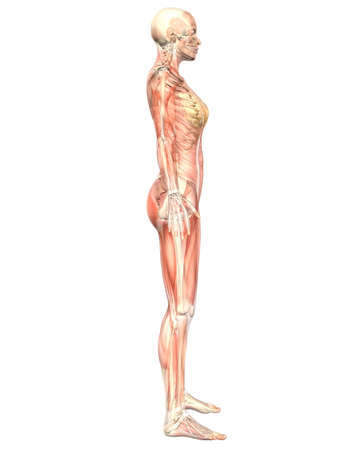 A illustration of the side view of the female muscular anatomy, semi transparent showing the skeletal anatomy. Very educational and detailed.