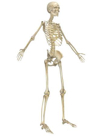 人間の骨格の解剖学の斜め正面図。非常に教育と詳細。