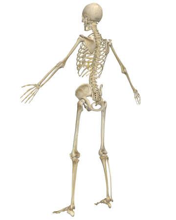 人間の骨格の解剖学の角度リアビュー イラスト。非常に教育と詳細。 写真素材