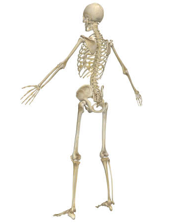 human bones: A angled rear view illustration of the human skeletal anatomy. Very educational and detailed. Stock Photo