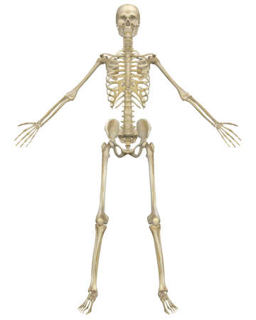 A front view illustration of the human skeletal anatomy. Very educational and detailed.