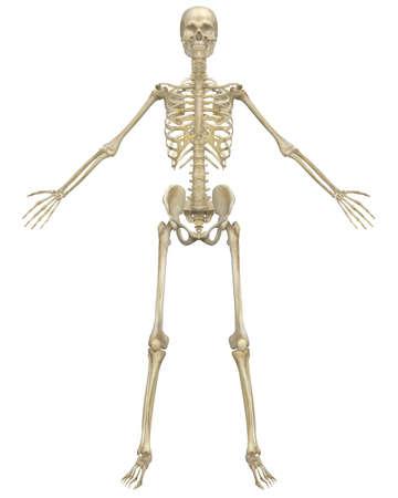médula: Una ilustración vista frontal de la anatomía del esqueleto humano. Muy educativo y detallada.