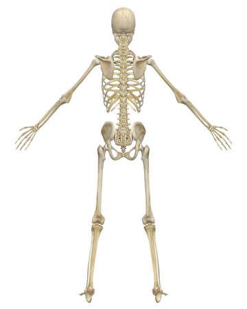 人間の骨格の解剖学の背面図非常に教育と詳細。 写真素材