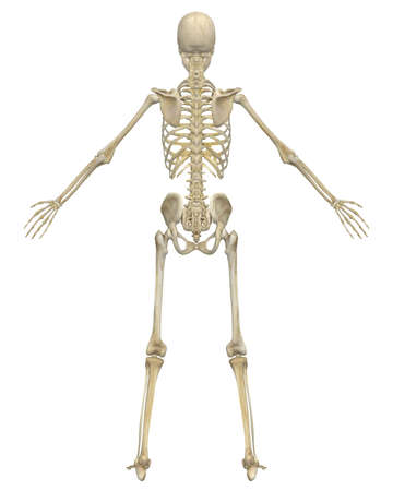 A rear view illustration of the human skeletal anatomy. Very educational and detailed. Stock Photo
