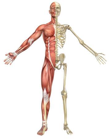 Una ilustración split vista frontal de la anatomía esqueleto masculino muscular muy educativo y detallada Foto de archivo