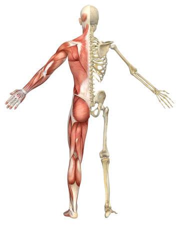 esqueleto humano: Una ilustraci�n split vista trasera de la anatom�a esqueleto masculino muscular muy educativo y detallado