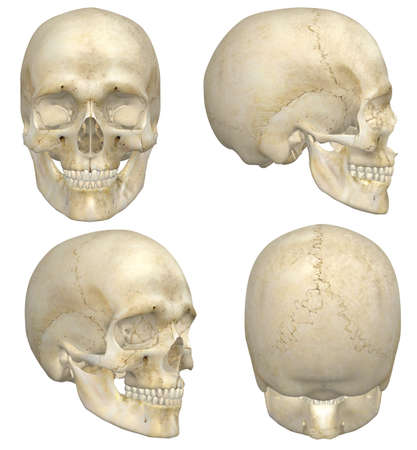 front side: A illustration containing four views, front, side, rear, and angled front, of a human skull  Isolated on a solid white background  Very educational and detailed  Stock Photo