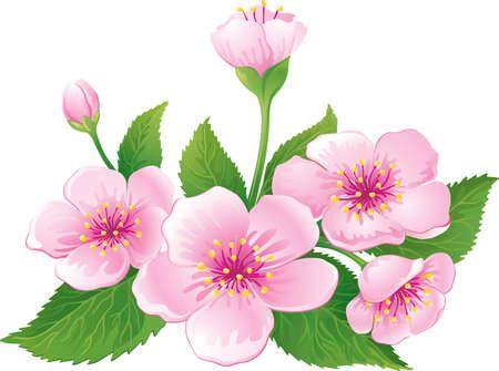 flor cerezo: Flor de cerezo Vectores