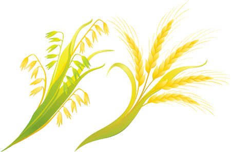 Di grano e avena orecchie Archivio Fotografico - 12442275
