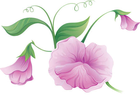 Sweet pea flower  Vector