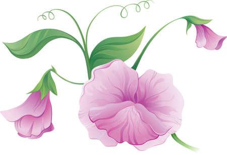 green peas: Sweet pea flower