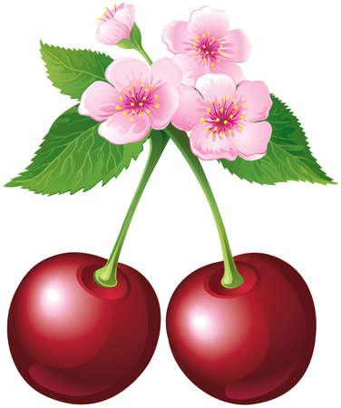 ramo di ciliegio: Ciliegi in fiore