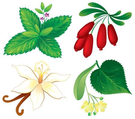aromatique: Lot de plantes aromatiques Illustration