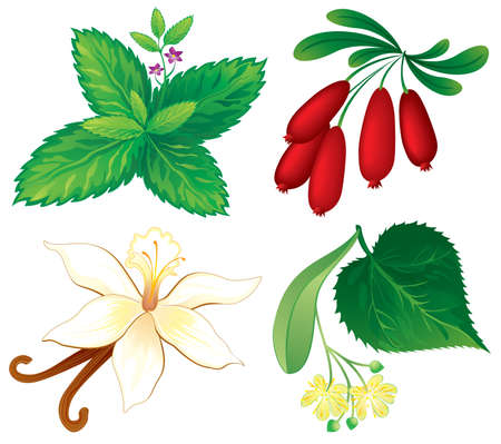 linden: Set of aromatic plants Illustration