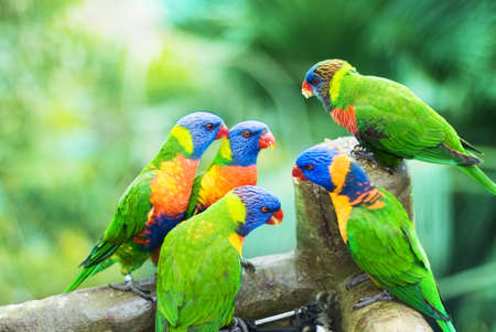 The Rainbow Lorikeets are eating sweet corn in the park Stock Photo
