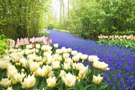 Keukenhof Garden, flowers bed Tulips and Muscari in the Keukenhof Garden, at springtime photo