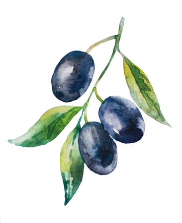 picking fruit: Aquarelle picture of black olive branch with leaves
