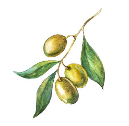 アクワレル手描き緑オリーブの枝