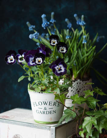 Beautiful pansy flowers and muscari in a pot on the table. Viola cornuta.