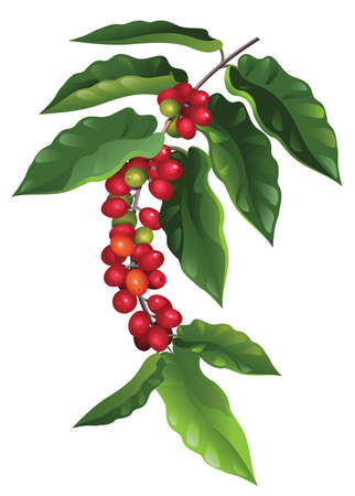 green coffee beans: branch of coffee  Illustration