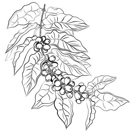 white beans: hand drawing branch of coffee  Illustration