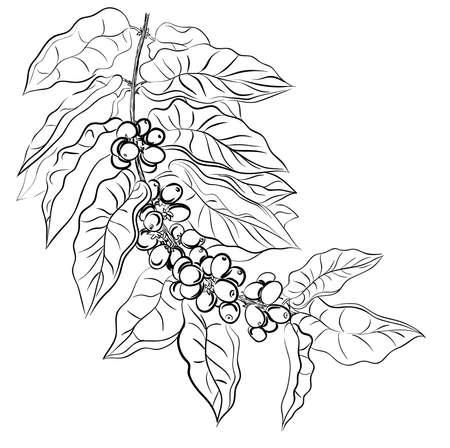 coffee beans: hand tekening tak van koffie