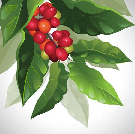 granos de cafe: rama de caf� maduro