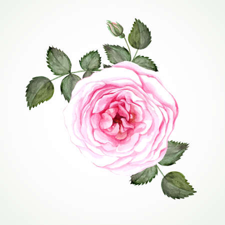 Pink tea rose blossom with leaves and bud. Watercolor image vector. Ilustração