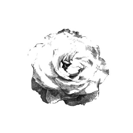 white flowers: hand drawn rose created by graphics lines Illustration