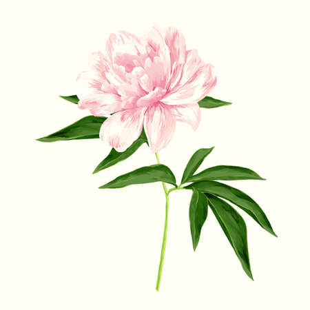light pink: The single flowering light pink peony Illustration