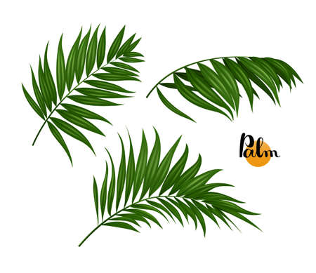 palm: illustration of three tropical green palm leaves set